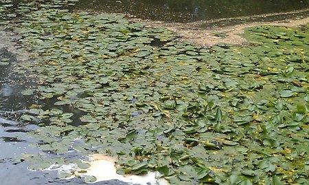 Su üzərində nilufər gülləri